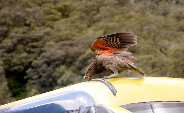 Three Places to Spy The Famously Cheeky New Zealand Kea